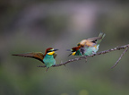 European Bee-eaters on a branch Spanish Steppes Spain (European Bee-eater)