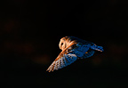 Barn Owl hunting at night, Norfolk, UK