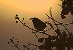 Wren in song at dawn Norfolk UK (Wren)