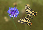 Sourthern swallowtail flying to a flower Ardeche France