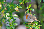 European Robin in a Cotoneaster fruits France (European Robin)