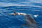 Short-finned Pilot Whale mother and her dead calf Canary (Short-finned pilot whale )