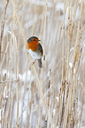 European Robin perched in a snowy reed bed in winter (European Robin)