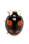 Asian lady Beetle on white background