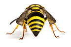 Potter wasp on white background (wasp)