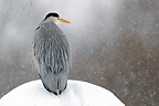 Heron on the lookout in the snow Brognard France (Grey Heron)