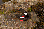 Black Guillemot mating Scotland (Black Guillemot)