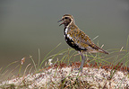 Golden plover in summer Scotland (Golden plover)