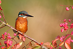 Common Kingfisher in autumn West Midlands UK (Common Kingfisher)