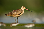 Marbled godwit standing by water New York USA (Marbled godwit)