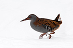 Water rail looking for food in the snow in winter GB (Water rail)