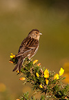 Twite single bird on gorse Hebrides Scotland (Twite)