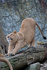 Asian lion female stretching on a branch Zoo Mulhouse France (Asian lion)