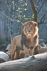 Asian lion standing on a trunk Zoo Mulhouse France (Asian lion)