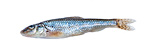 Gudgeon on white background (Gudgeon)