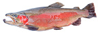 Rainbow trout male on white background (Rainbow trout)