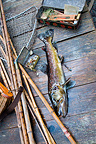 Male wild brown trout and fishing equipment Frannce (Brown trout)