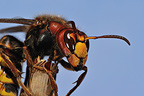Queen European hornet warming at the end of winter sleep (wasp)
