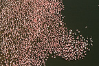 Aerial view of Lesser Flamingoes on lake Bogoria NR Kenya (Lesser Flamingo)