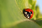 Ladybird on a plant seven points along the Loire France