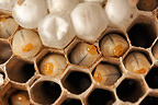 Worker larvae of Asian predatory Hornets in their cells (wasp)