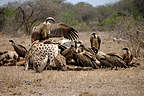 White-backed vultures feeding on dead Giraffe, Kruger NP, South Africa