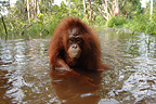 Orang-utans walking in the water during the rainy season (Orangutan)