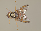 Female Mediterranean fruit Fly in dorsal view. The adults lay eggs under the skin of fruit and larva develop in the fruit. Species native of Africa that have invaded the Mediterranean basin.  Introduced anywhere in the world by food and fruit transport.