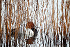 Male Pochard resting on water in winter GB (Pochard)