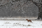 Red fox standing in a snow storm in winter GB (Red fox)