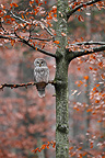 Ural Owl perched on a beech tree in autumn, Germany