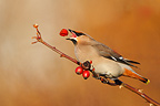 Waxwing eating a rosehip in winter GB (Waxwing)