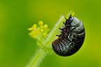 Bloody-nosed Beetle larvae feeding on bedstraw France (Bloody-nosed beetle)