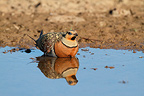Male Pin-tailed Sandgrouse bathing in a pond Spain (Pin-tailed Sandgrouse)