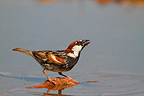 Male Spanish Sparrow near a pond Spain (Kelp Goose)