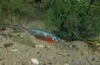 Male Three-spined stickleback courting in a puddle (Stickleback)