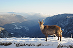 Ibex and young in snow Vanoise Alps France (Ibex)