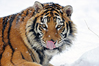 Siberian tiger tongue out  (Siberian tiger)
