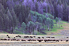 Herd of Bisons in Hayden Valley of Yellowstone NP  (American Bison)