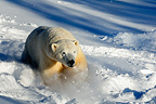 Male polar bear charging through the snow (Polar bear)