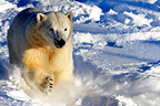 Charge of a male polar bear in snow  (Polar bear)
