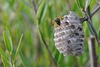 Queen European paper wasp on its nest at spring (wasp)