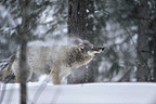 Grey wolf shaking off snow, Sweden