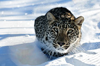 North Persian Leopard in the snow in winter (North Persian Leopard )