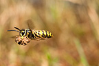 Common wasp in flight carrying mud Burgundy France (wasp)