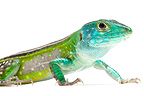 Blackbelly Racerunner on white background