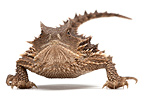 Giant Horned Lizard on white background