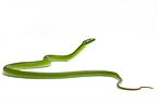 Green Trinket Snake on white background
