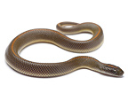 Aurora House Snake on white background
