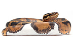 Royal Python 'Piedbal' on white background�